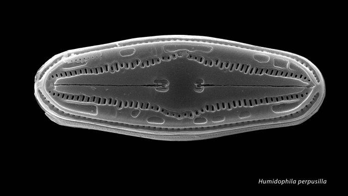 Humidophila perpusilla