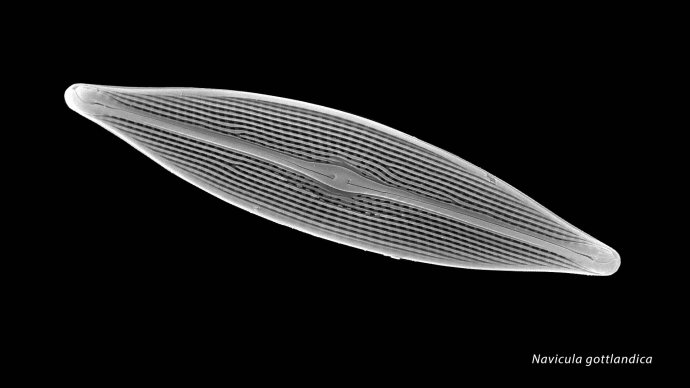 Navicula gottlandica