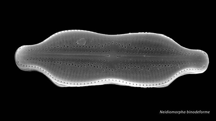 Neidiomorpha binodeforme
