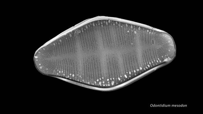Odontidium mesodon
