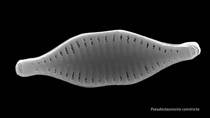Pseudostaurosira constricta