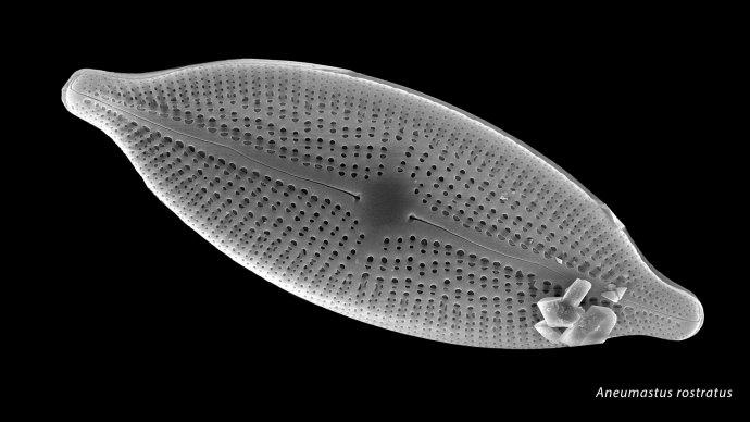Aneumastus rostratus